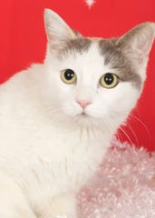 Moonflower is available for adoption at 952 W. Melody Ave. in Gilbert. For more information, call 480-497-8296 or email fflcats@azfriends.org.