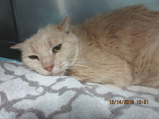 A yellow, short-haired cat was found Thursday, Dec. 12, in Chandler with a trap on one of its hind legs.