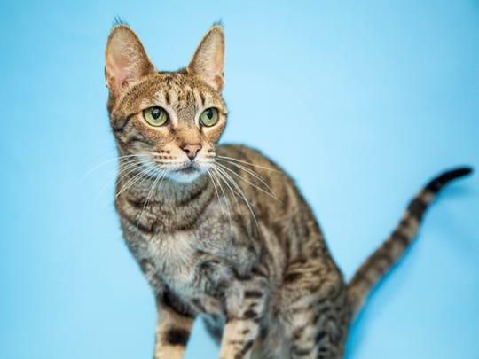 Nala is available for adoption with Arizona Humane Society. For more information, call 602-997-7585 ext. 2145 and ask for animal number 283129.