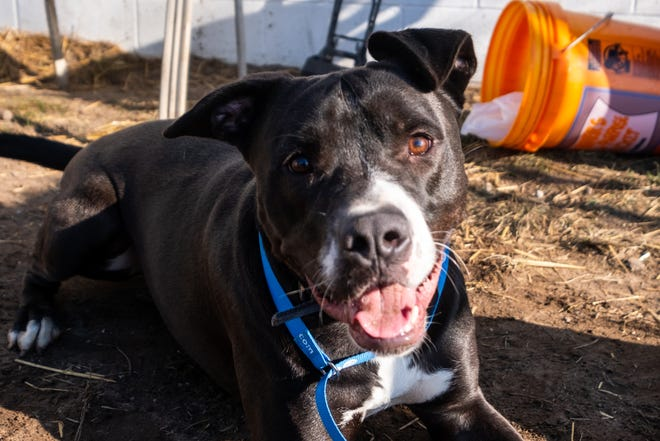 Beau, a 1-year-old mix, plays in one of the pens at St. Clair County Animal Control Tuesday, Dec. 17, 2019. Beau is one of the dogs up for adoption that has had an extended stay at the shelter.