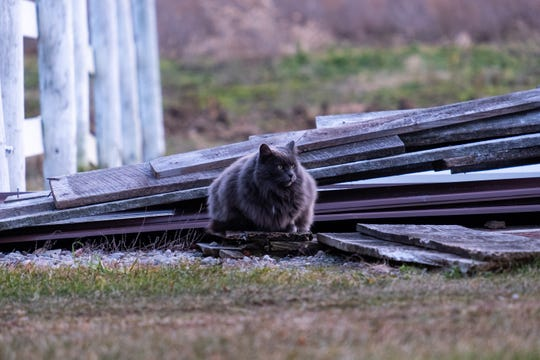 Lucky, a barn cat that lives at Smiths Creek Alpacas, sits on top of a stack of wooden planks Friday, Dec. 13, 2019, in Smiths Creek.