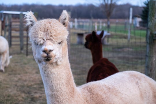 Goldie Fahn, one of the alpacas at Smiths Creek Alpacas, poses for a photo Friday, Dec. 13, 2019, in Smiths Creek. The farm has five female and two male alpacas.