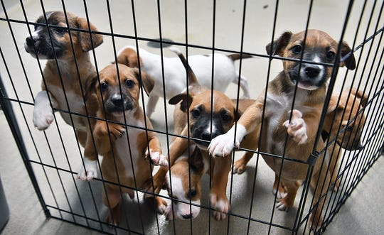 These seven adorable mixed-breed puppies are eight weeks old and available for adoption at the Wichita Falls Animal Services Center.