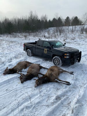 Three adult elk were found dead in Michigan's River State Forest, according to the DNR.