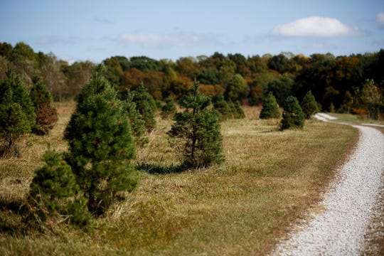 The city of Wichita Falls is offering free disposal sites for natural Christmas trees like these shown here on Bloomington, Indiana-based Twin H Tree Farms.