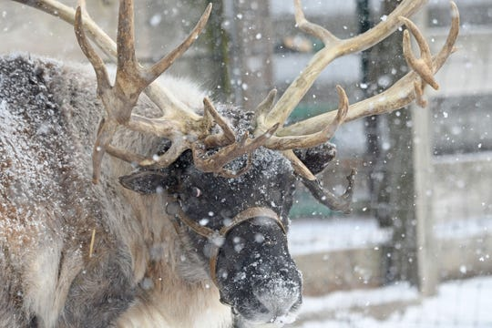 Blitzen the reindeer enjoys the snow Wednesday  afternoon outside at Kleerview Farms. Blitzen can be seen on the farm while customers shop for live Christmas trees, visit the Christmas House or tour Santa's Barnyard Express.