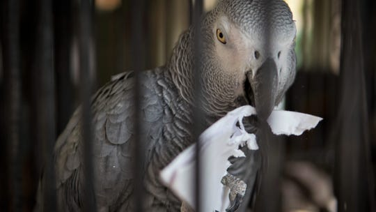 Smokey the snowflake-making parrot puts his artistic talent to work earlier this week at the Humane Society of Ventura County shelter in Ojai.