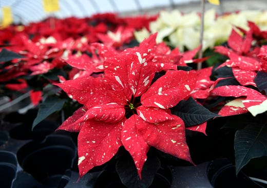 Fun Facts About Poinsettias From Huffman Farms In Vineland