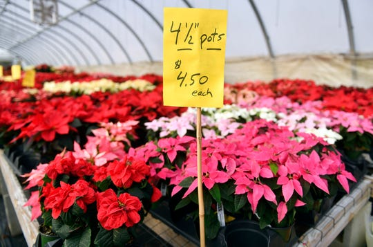 "Tim Huffman nurtures a wide selection of poinsettia plants that his farm produces. Huffman Farms grows over 7,000 plants a year ranging from 4.5"" to 14"" in size at 296 S. Blue Bell Road in Vineland."