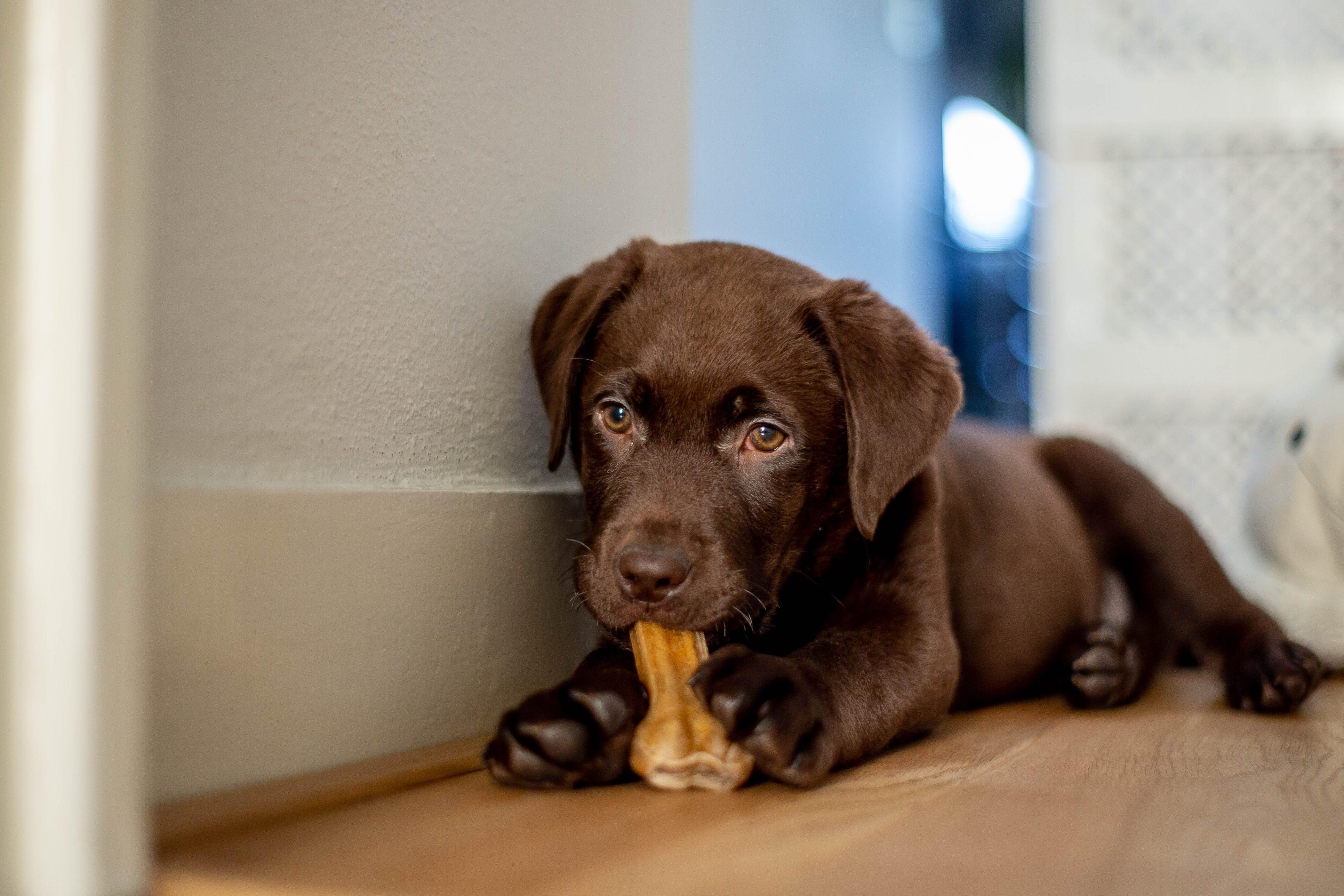 Crew Boston Terrier Womens Puppy Dog Trouser Socks J