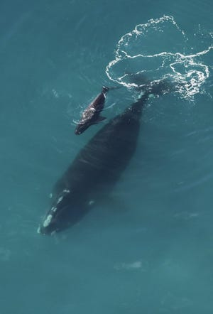 Pregnant right whales migrate from the waters off Nova Scotia and New England during the winter to give birth in the warmer waters off the coast of Florida and Georgia. The whales are sometimes accompanied by other whales, including males and juveniles. The first sighting of the winter migration season was reported Monday off the coast of Georgia.
