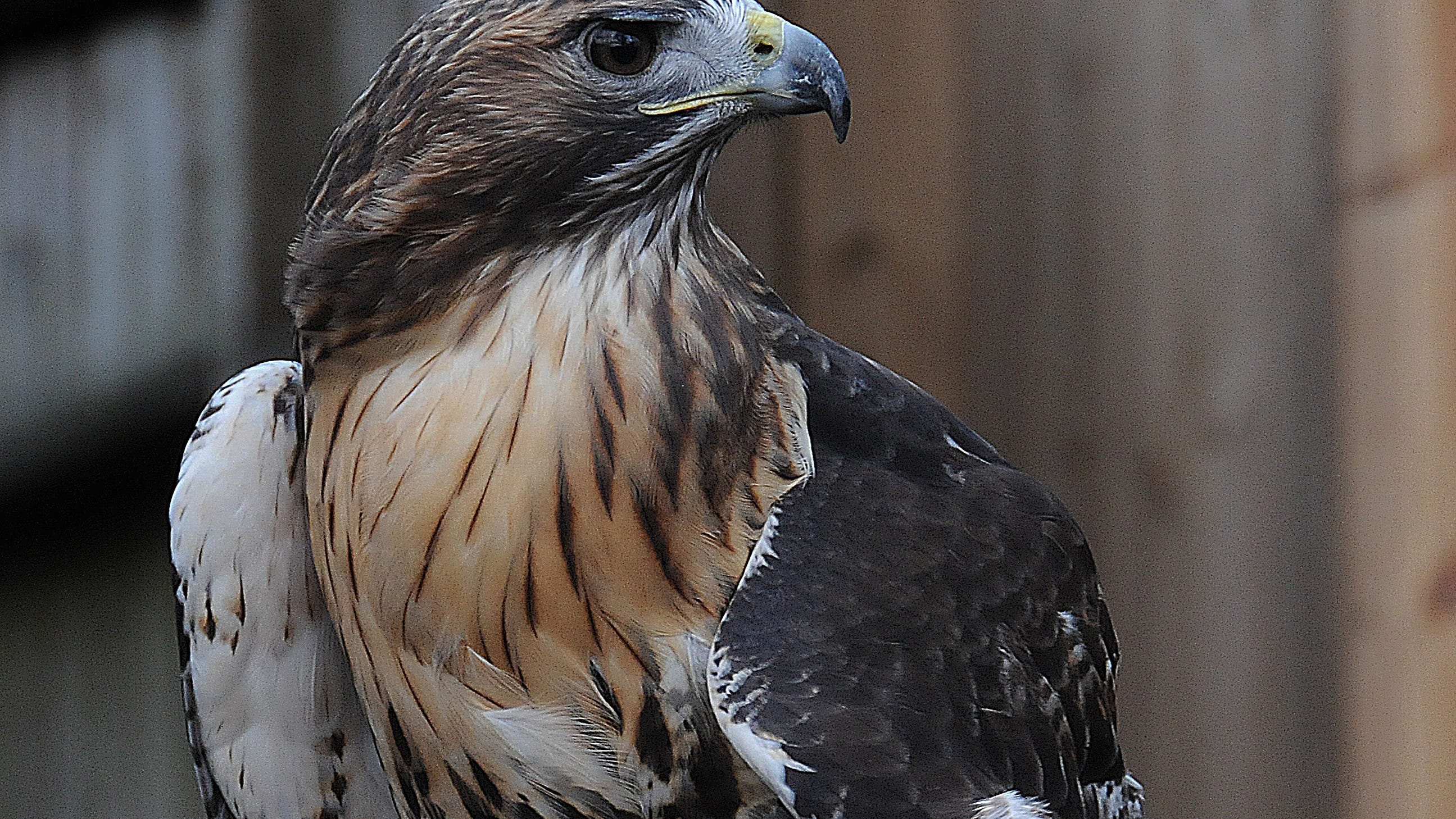 Nature Center Notes Birds Of Prey In Wnc