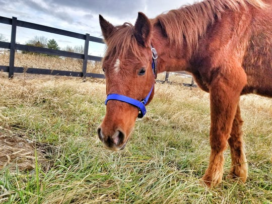 Charlie, a 12-year-old horse found neglected, has been recovering at the Fayette Regional Humane Society. Humane Agents say he is very sweet, gentle and loves people.