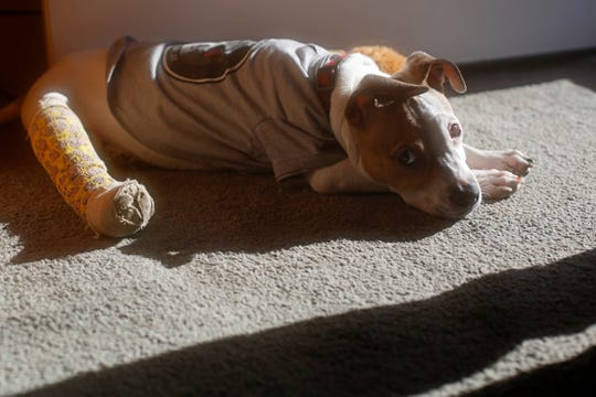 New Allen family pet puppy, Harland, lays in the sunshine at their family's home in Colerain Township.