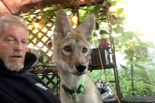 In this undated photo provided by Matt Stokes is a mobile phone selfie Stokes took of himself and his emotional support coyote, Drifter.