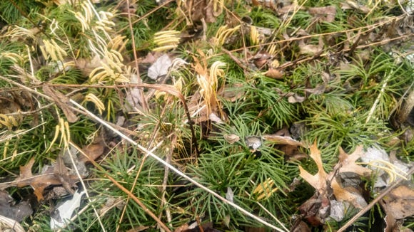 If left undisturbed, club moss grows into an attractive stand of plants