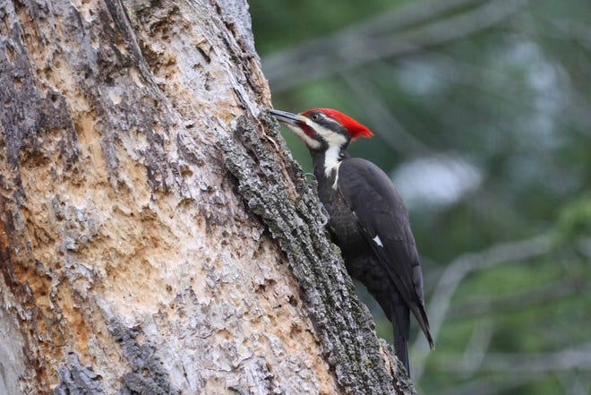 A male pileated woodpecker chisels away at a dead tree, Mother Nature's grocery store and nursery. Without dead trees in which to hammer out or find nest cavities, more than 85 species of birds nationwide cannot breed, resulting in their population crashes.