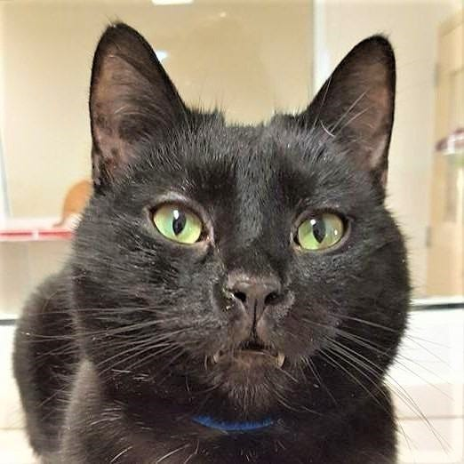 Midnight is at the Humane Society of Sandusky County looking for a new home.