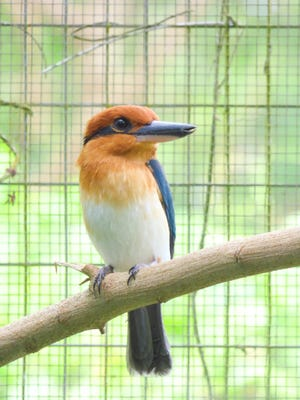 The female Micronesian kingfisher, or sihek.
