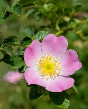 True wild roses produce single flowers with five petals, and most of them are pink.