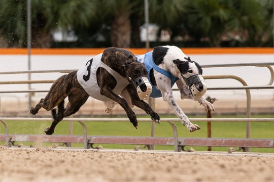 Greyhounds race on Wednesday, December 18, 2019, at Naples Fort Myers Greyhound Racing & Poker in Bonita Springs.