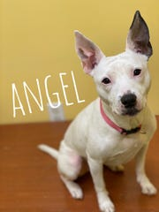 Angel is an active 7-year-old, 26-pound Terrier mix with the cutest ears that stick straight up when you have her attention