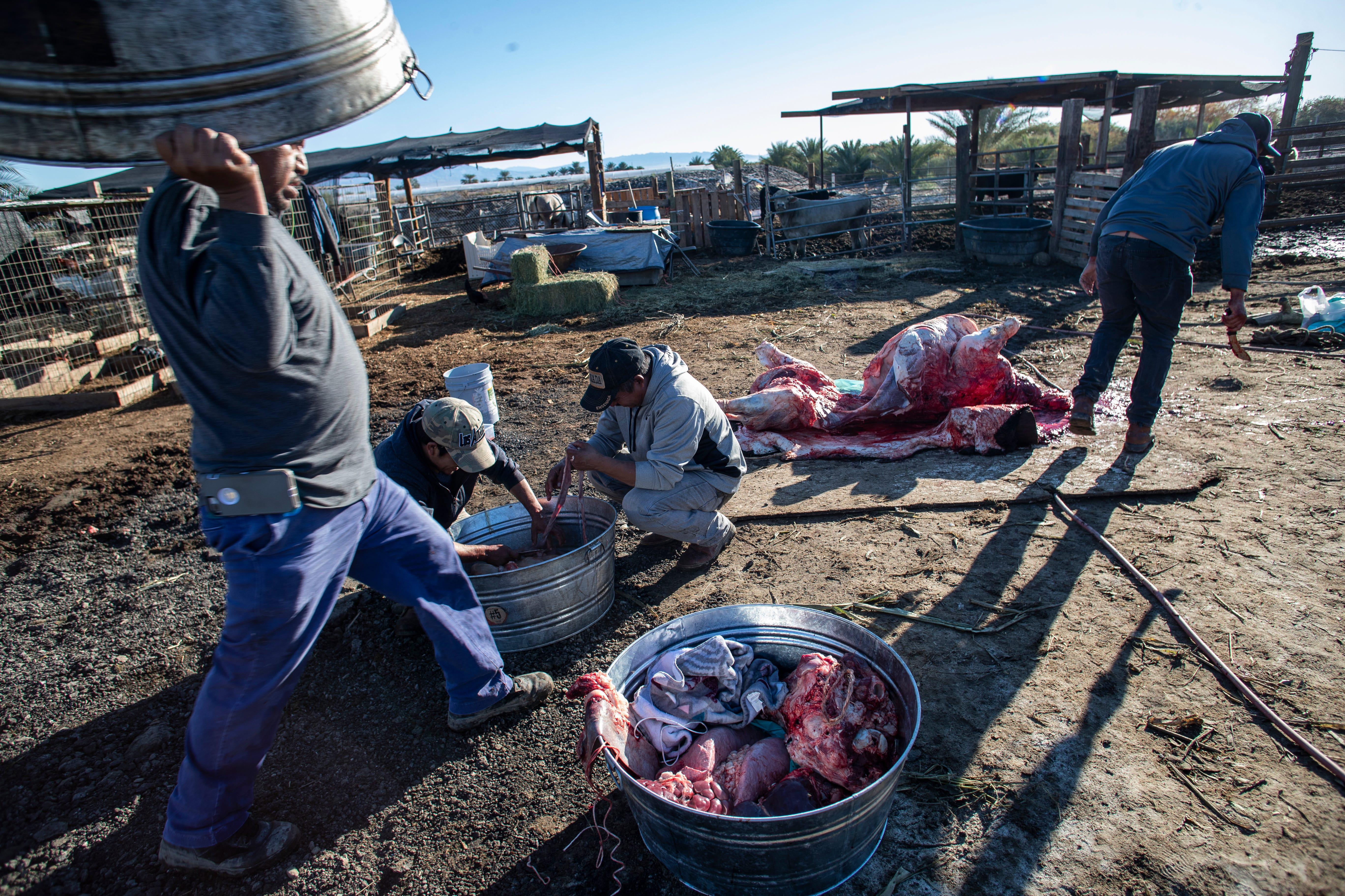 A cow is prepared by members of the Purépecha  community in Thermal, Calif. The cow will be used to feed hundreds of members of the community who will gather over the course of five days.