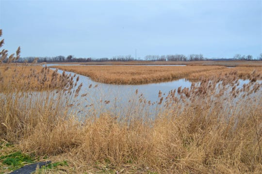 The wetlands of Southwestern Lake Erie, including those at Winous Point, are home to a great  diversity of plant and animal life.
