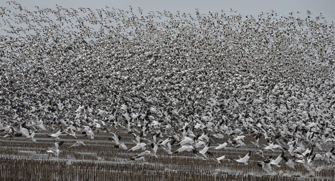 """Snow Geese by the tens of thousands lift off then settle back down on a stretch of partially flooded farm land known as the """"31 muck"""" during the annual spring migration at the Montezuma Wetlands Complex along Route 31 outside of Savannah Thursday, March 21, 2019.  During a two week stretch, hundreds of thousands of the geese will migrate from their winter homes in the Chesapeake and Delaware bays, stopping in Montezuma for rest and food, before continuing on to their summer nesting home in the Hudson Bay region in the Canadian arctic."""