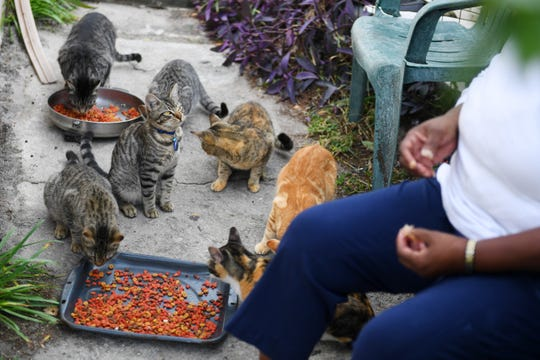 The Humane Society of Vero Beach & Indian River County could sever ties with the county over concerns about animal services, including the trap, vaccinate, neuter and release idea for feral cats. In this photo, taken last year, Mervin and Melvina McPhee feed and water at least eight cats daily at their Gifford home. The McPhees have been warned about possible fines if the cats were not contained.