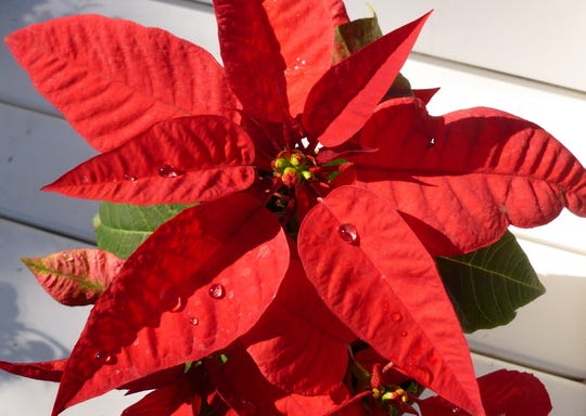 Poinsettias have become a ubiquitous part of the Christmas season, but they weren't always so closely associated with the holidays. The tropical flower is native to Mexico and didn't rise to prominence until the early 1900s.