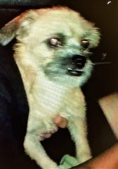 Police say this dog was thrown from a vehicle onto oncoming traffic at a high rate of speed Oct. 12, 2019.