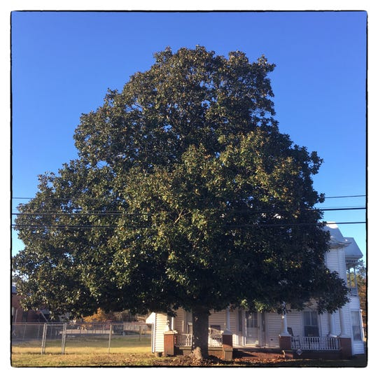 A large magnolia tree shades a home in the small downtown area of Aulander in Bertie County, NC.