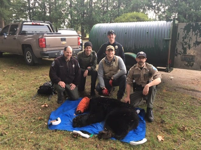 Washington Department of Fish and Wildlife Police and Port Orchard Police tranquilized a bear running through residences in Port Orchard.