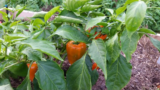 Now's a good time to plant vegetables such as peppers.