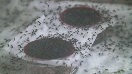 Female mosquitos are given warm pigs blood to feed on as males are given sugar water to keep up their energy. This is a controlled environment to support egg laying. A Lee County Mosquito Control District lab in Buckingham is preparing to release hundreds of thousands of sterilized male Aedes aegypti on Captiva in hopes that they impregnate females with nonviable offspring. This generation of males goes through an X-ray machine and is tested for fertility. The end result are male mosquitos that can't produce offspring, thus slowing down or killing off this species of mosquito.