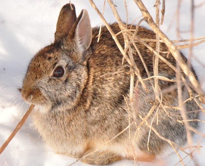 A cold winter and wet spring combined to bring down cottontail rabbit numbers across eastern Iowa this year by more than 50 percent. But wildlife biologists expect their numbers to rebound.