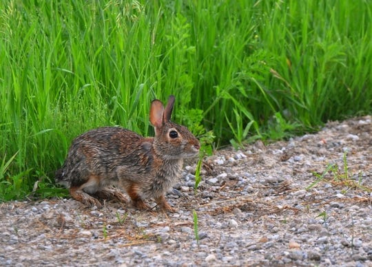 A wild cottontail cautiously prepares to bound across an open area.
