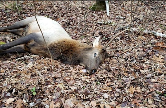 This spike bull was one of two elk shot Nov. 25 by a deer hunter in Rusk County. The hunter, Salina Beltran of Mukwonago, faces $6,152 in fines for hunting elk out of season and restitution.