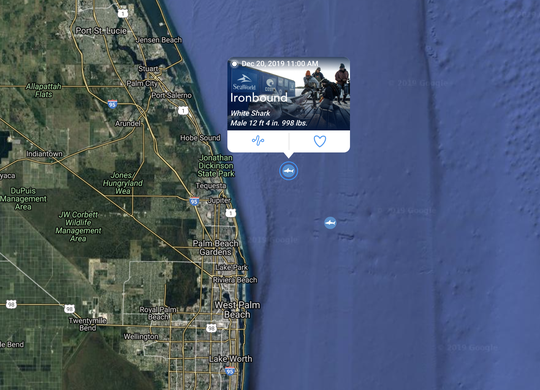 Ironbound, a nearly 1,000-pound white shark, pinged at 11 a.m. Friday off Jupiter Island.