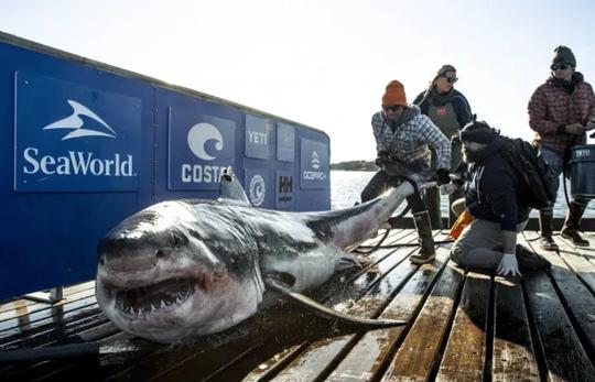 Ironbound, a nearly 1,000-pound white shark, was tagged Oct. 3 near Lunenberg, Nova Scotia.