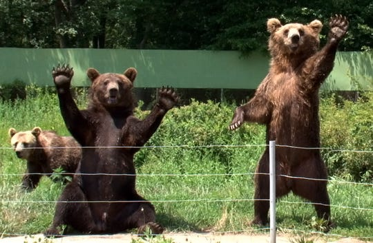 JACKSON TOWNSHIP - 07/012/11 - Two European Brown Bear wave to passing cars in the Safari at Six Flags Great Adventure in Jackson Tuesday.    SHOREHOT0712C - ASBURY PARK PRESS PHOTO BY THOMAS P. COSTELLO - WITH VIDEO
