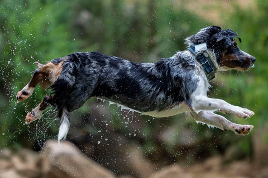 Tucker, an Australian shepherd and beagle mix, leaps into the water at the PetSafe Emma Jane Walker Memorial Dog Park on July 10, 2019. Tucker's keeper, Natali Carrasco, brings him to the park to swim two or three times a week.
