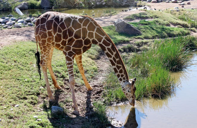 A thirsty giraffe at the Phoenix zoo enjoyed the fine weather during President's Day weekend, 2015.