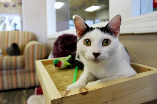 Bugsy sits on a ledge in the cat lounge of Mochas & Meows in Branson.