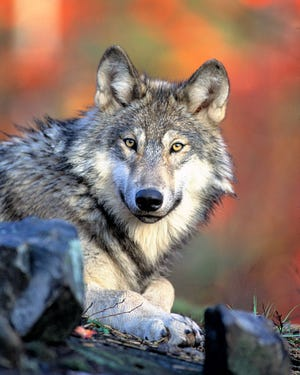 Colorado recently approved the reintroduction of gray wolves to the state.