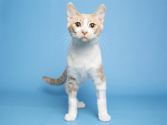 4-month-old Butter is waiting to be adopted at the Petsmart at Old Town Scottsdale.