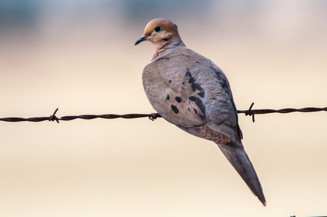 Symbol of peace, a mourning dove perches on barbed wire.