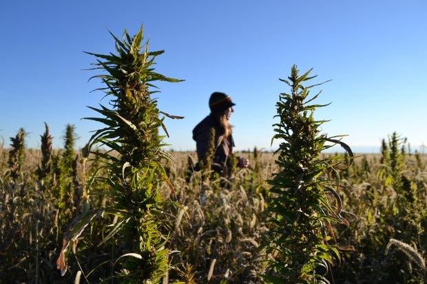 A volunteer walks through a hemp field at a farm in Springfield, Colo. on Oct. 5, 2013, during the first known harvest of industrial hemp in the U.S. since the 1950s.