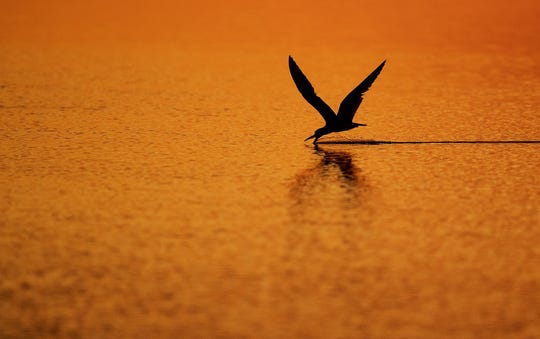 A black skimmer feeds during sunset in Hurricane Pass. The birds feed by skimming the surface of the water until the beak feels its prey. The bill snaps shut and it has its meal.